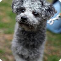 Adopt A Pet :: Iggy - Tinton Falls, NJ