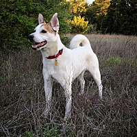 Jack Russell Terrier/Terrier (Unknown Type, Medium) Mix Dog for adoption in Austin, Texas - Miss Scout in Dallas