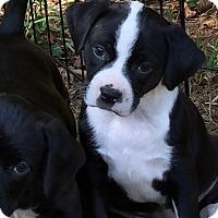 Adopt A Pet :: Puppies - Good Hope, GA