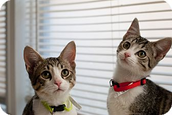 Domestic Shorthair Cat for adoption in Nashville, Tennessee - Bo and Bennigan