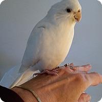 Cockatiel for adoption in Hightstown, New Jersey - Angel