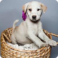 Collie Mix Puppy for adoption in Jacksonville, North Carolina - Elsa