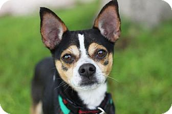 Rat Terrier Mix Dog for adoption in Kyle, Texas - JACKSON