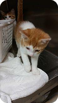 Domestic Shorthair Kitten for adoption in Chippewa Falls, Wisconsin - Yesmina