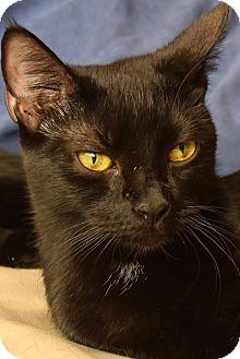 Domestic Shorthair Cat for adoption in New  York City, New York - Foxy