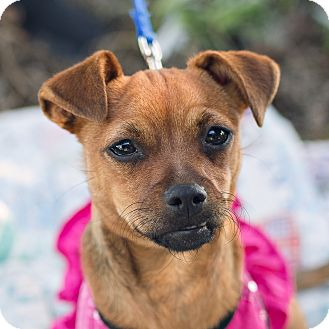 Chihuahua Mix Puppy for adoption in Oakley, California - Nala