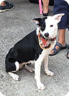 Border Collie Mix Dog for adoption in Poughkeepsie, New York - Vala