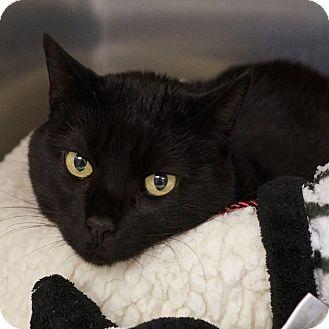American Shorthair Cat for adoption in Naperville, Illinois - Zuzu