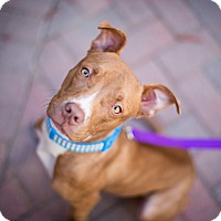 Adopt A Pet :: Pippy - Reisterstown, MD
