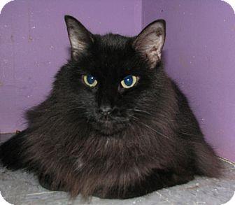 Domestic Longhair Cat for adoption in New Kensington, Pennsylvania - Joey