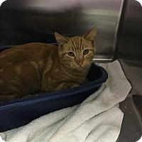 Domestic Shorthair Kitten for adoption in Richboro, Pennsylvania - Tigger