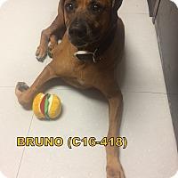 Adopt A Pet :: Bruno - Tiffin, OH