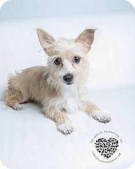 Terrier (Unknown Type, Small) Mix Puppy for adoption in Inglewood, California - Bella Bea