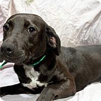 Adopt A Pet :: Duchess - Youngsville, NC
