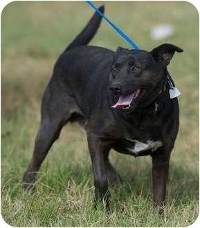 Labrador Retriever Mix Dog for adoption in Providence, Rhode Island - Pogo