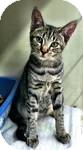 Domestic Shorthair Cat for adoption in Red Bluff, California - Frey