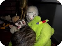 Ferret for adoption in Spokane Valley, Washington - Tucker