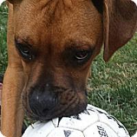 Adopt A Pet :: Boudreaux - Brattleboro, VT
