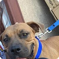 Adopt A Pet :: Josie - Van Nuys, CA