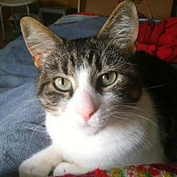Photo 1 - Domestic Shorthair Cat for adoption in Bentonville, Arkansas - Coconut Cookie