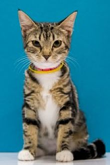 Domestic Shorthair Cat for adoption in Chandler, Arizona - Freeda