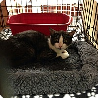 Domestic Mediumhair Cat for adoption in Houston, Texas - KIFFEN