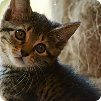 Domestic Shorthair Kitten for adoption in Houston, Texas - Tiger Lily