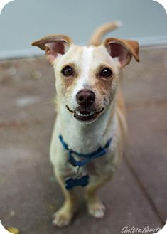 Chihuahua Mix Dog for adoption in Los Angeles, California - Little Man