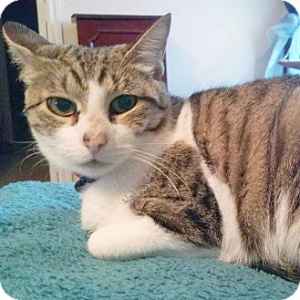 Domestic Shorthair Cat for adoption in Arlington/Ft Worth, Texas - Molly