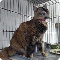 Domestic Mediumhair Cat for adoption in Owenboro, Kentucky - MAYCEE