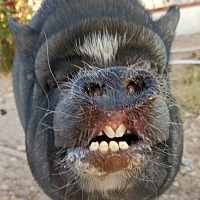 Pig (Potbellied) for adoption in Las Vegas, Nevada - Kosha