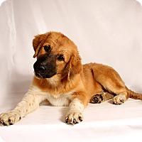 Adopt A Pet :: Sawyer ShepMix - St. Louis, MO