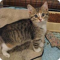 Adopt A Pet :: Amber C - St. Louis, MO