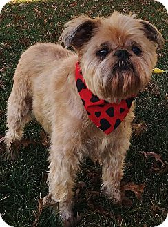 Brussels Griffon Dog for adoption in Overland, Kansas - MISS LACY- Adoption Pending