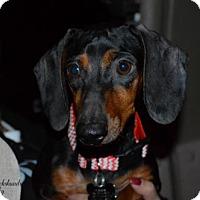 Adopt A Pet :: Macy - Aurora, CO