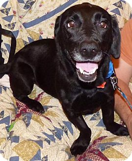 Basset Hound/Labrador Retriever Mix Dog for adoption in Providence, Rhode Island - Daphne