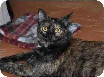 Domestic Shorthair Cat for adoption in Chattanooga, Tennessee - Zoe