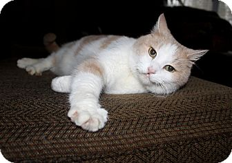 Domestic Shorthair Cat for adoption in Nolensville, Tennessee - Pumpkin