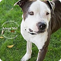Adopt A Pet :: Harvey - Scottsdale, AZ