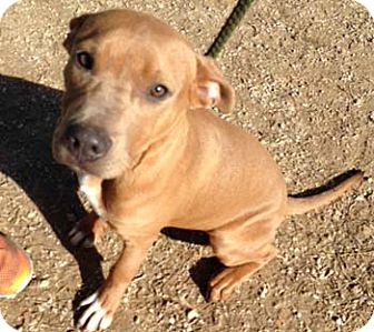 Pit Bull Terrier Puppy for adoption in Seguin, Texas - Gus