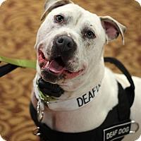 Adopt A Pet :: Ice - Mount Laurel, NJ
