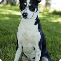 Adopt A Pet :: Jolene-Black and white beauty-N-Video - Alvin, TX