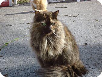 Domestic Longhair Kitten for adoption in Central Islip, New York - Willow