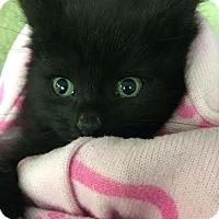 Adopt A Pet :: W Litter - Cassidy - Williamston, MI
