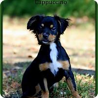 Adopt A Pet :: Cappuccino - Dixon, KY