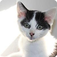 Domestic Shorthair Kitten for adoption in Greensboro, North Carolina - Tony