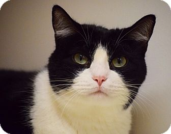 Domestic Shorthair Cat for adoption in Dallas, Texas - Sherman