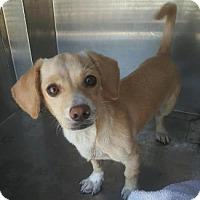 Dachshund/Spaniel (Unknown Type) Mix Dog for adoption in Pt. Richmond, California - DREYFUS