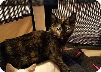 Domestic Shorthair Kitten for adoption in Trenton, New Jersey - Daisy A.
