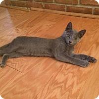 Domestic Shorthair Kitten for adoption in Carlisle, Pennsylvania - Pudge